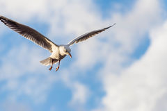 Seagull in the clouds Royalty Free Stock Photo
