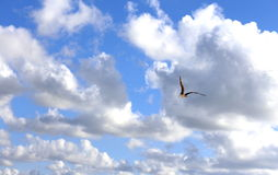 Seagull in the clouds Stock Images