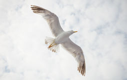Seagull on a cloudy sky Royalty Free Stock Image