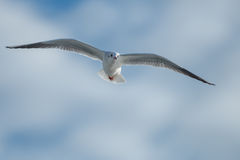 Seagull in the cloudy sky. Seagull Is flying in partialy cloudy sky Stock Image