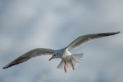 Seagull in the cloudy sky. Seagull larus ridibundus Is flying in partialy cloudy sky Stock Image