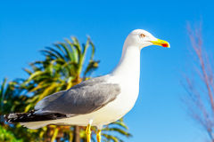 Seagull clouse up on Promenade de la Croisette Stock Images