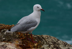 A seagull on the coast of Australia. A wild seagull on the coast of Queensland, Australia Stock Photo