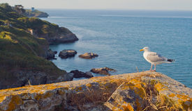 Seagull on the coast of the island of Belle Ile en Mer. France. Stock Photos