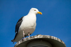 Seagull at the Coast Stock Images