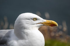 Seagull on the coast Stock Photography