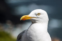 Seagull on the coast Royalty Free Stock Photography