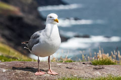 Seagull on the coast Stock Photo