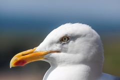 Seagull on the coast Stock Photos
