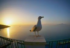 Seagull at coast. A seagull at the coast of Sorrento, Italy Royalty Free Stock Photos