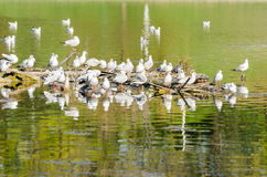 Seagull Colony On River Royalty Free Stock Image