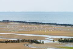 Seagull colony on tidal mud flat of the island Ameland. The Netherlands royalty free stock photography