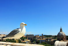 Rome, seagull and colosseum, Italy royalty free stock image