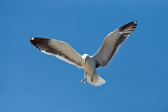 Seagull coming in for a landing Royalty Free Stock Photography