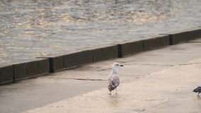 Seagull on the concrete embankment stock video