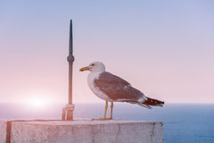 Seagull  at the concrete fence with lightning rod Stock Photo