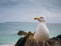 Seagull in Cornwall Stock Image