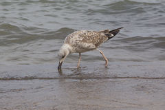 Seagull on the cost Royalty Free Stock Photography