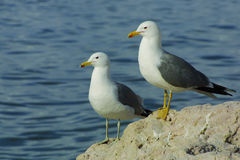 Seagull couple Stock Photos