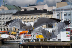 Seagull couple Royalty Free Stock Photography