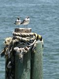 Seagull couple vertical stock photo