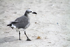 Seagull with crab Stock Image