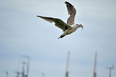 Seagull with crab in its beak Royalty Free Stock Photos