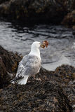 Seagull with crab Royalty Free Stock Photography