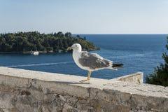 Seagull, Croatia royalty free stock photos