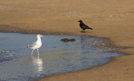 Seagull and crow. On beach at low tide Royalty Free Stock Photos
