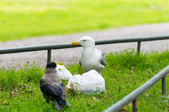 Seagull and crow with bag of food. Royalty Free Stock Image