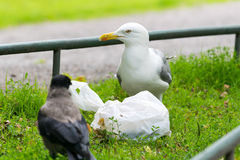 Seagull and crow. Stock Image