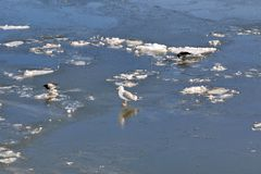 The seagull and the crows are walking along the frozen river stock image