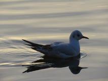Seagull cruising royalty free stock photo