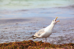 Seagull Cry Royalty Free Stock Photos