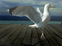 Seagull dancing Stock Images