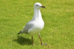 Seagull dancing on the grass Royalty Free Stock Image