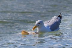 Seagull in Danube Delta, Romania. Seagull eating a fish in Danube Delta, Romania stock photography