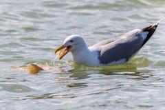 Seagull in Danube Delta, Romania Stock Images