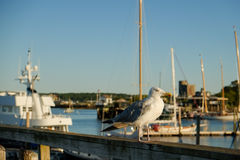 Seagull on deck rail at sunrise Stock Images