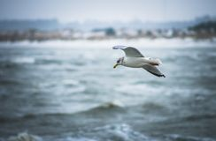Seagull in Denmark royalty free stock image