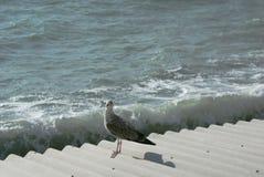 Seagull dennego ptaka obsiadanie Obrazy Royalty Free