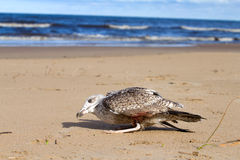 Seagull dies in a trap from the thrown line Stock Photo