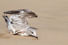 Seagull dies in a trap from the thrown line Royalty Free Stock Photo