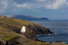 Seagull Dinglehalvö ireland royaltyfria foton