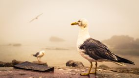 Seagull standing on a coastal wall. Seagull with a dirty face standing on a coastal wall overlooking rocks and the sea on a misty atmospheric day in a close up Royalty Free Stock Image