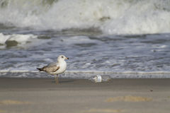 Seagull and Discarded Plastic Bottle Stock Images