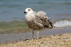 Seagull standing on a gray colored pebbles. Royalty Free Stock Photos