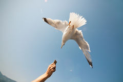 Seagull dive for cookie closeup Stock Images