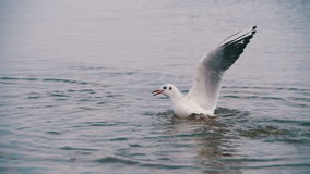 Seagull Diving for Food in Winter Sea. Slow Motion stock video footage